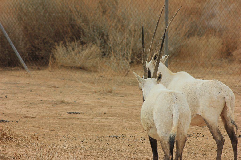 Read more about the article Safari au coeur de la réserve de Shaumari